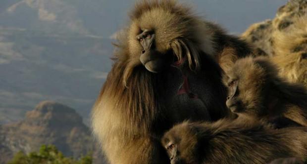 042116_cm_gelada-monkey-free