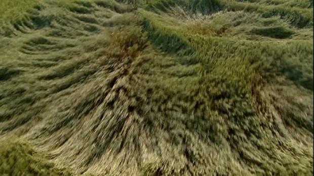 126816116-wheat-cultivation-wheat-field-wave-wind